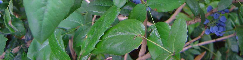 Mahonia-Aquifolium-leaves-and-berries
