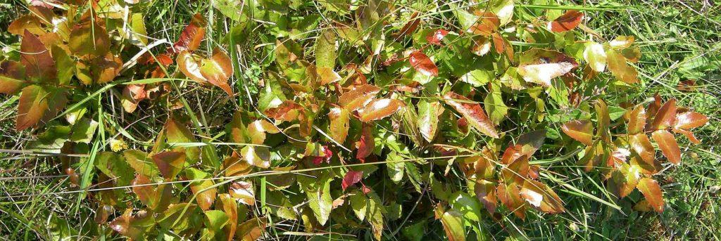 mahonia -berberis-aquifolium-oregon grape-root