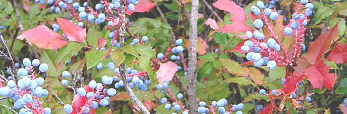 Mahonia-Aquifolium-Berberis-Oregon-Grape-Root